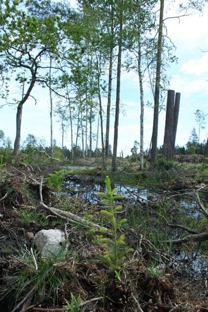 Markberedning har skett i våtmarker på hygget vartefter gran har planterats. Ingen av dessa åtgärder stämmer med regelboken.