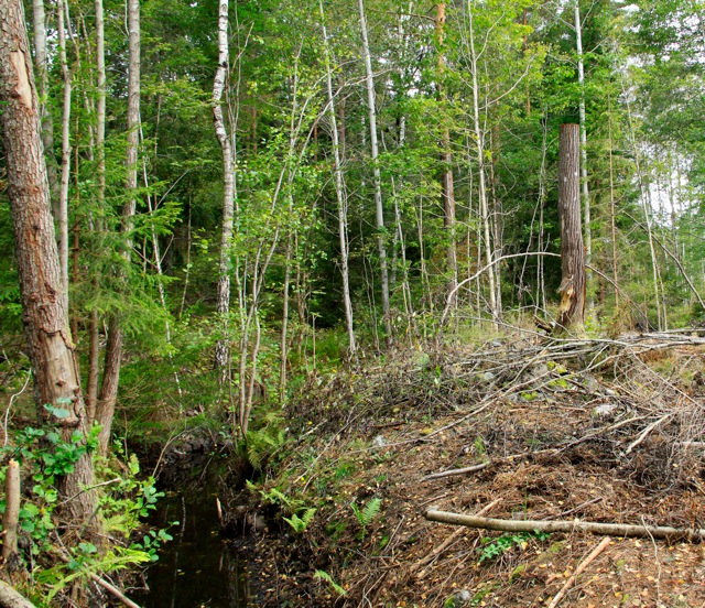 Sälg är ett trädslag av stor betydelse för den biologiska mångfalden och skall därför sparas vi en avverkning. Här har Södras entreprenör averkat sälg! Lägg märke till den obefintliga skyddszonen mot bäcken.