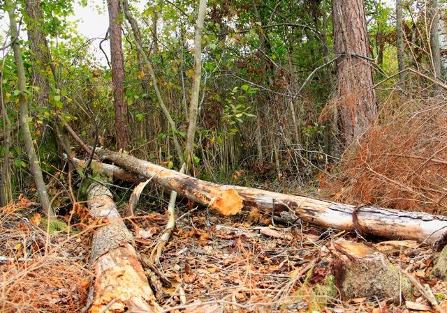 Ett flertal torrträd har fällts av entreprenören!