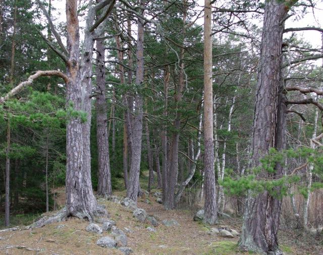 Gamla tallar i området som Sveaskog avser att slutavverka!
