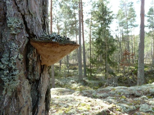 Det finns gott om tallticka i skogen!