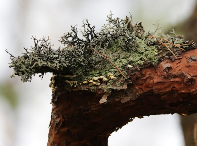 Den sällsynta svampen vintertagging funnen på tall i Klarebäcksområdet!
