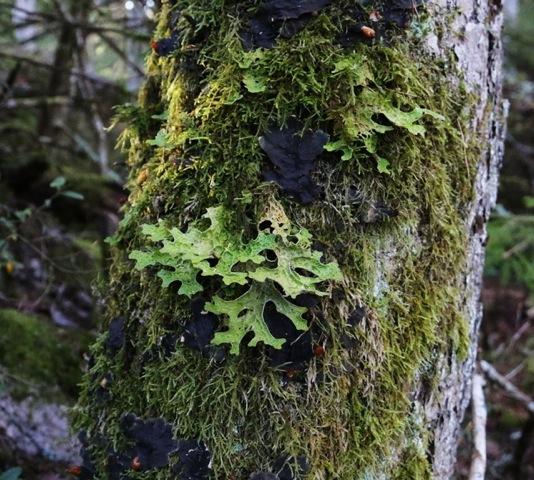 Lunglav har hittats i ett nyupptäckt naturskogsområde i Mönsterås kommun!